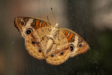 Common Buckeye Butterfly On Gl...