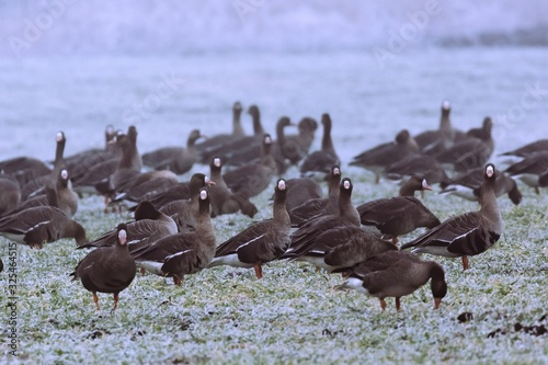 Greater white-fronted goose - Anser albifrons on a winter meadow Canvas Print