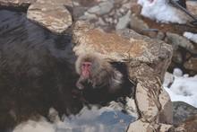 Overhead Shot Of A Macaque Mon...