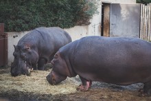 Selective Focus Shot Of Two Hippos Eating Dry Grass