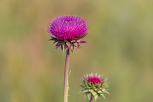 Close Up Of Thistle On Meadow
