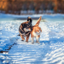 Cat And Dog Amicably Walk Side By Side On A Walk On A Snowy Courtyard In The Village On A Sunny Spring Day