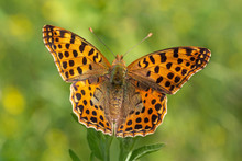 Close Up Of Fritillary Butterf...