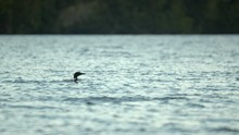 Loon On Reflective Beautiful R...