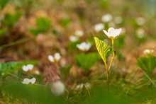 White Bloom Of Cloudberry In Scandinavian Moorland. Blooming Flowers In May. Spring Blossom.