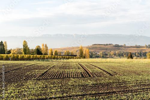 Fototapeta Champ de blé en Suisse durant l'automne