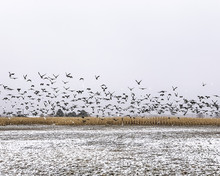 A Flock Of Geese Taking Off Fr...