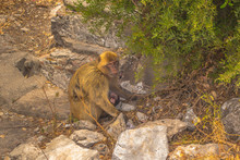 Monkey Mother With Her Baby In Gibraltar