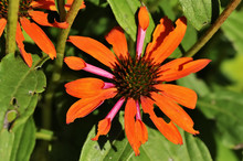 Orange Skipper (Echinacea Purpurea) Is A North American Species Of Flowering Plant In The Sunflower Family. Orange Flowers In The Garden.