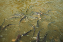 A Large School Of Fish Eats Br...