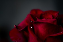 A Red Rose Flower With Dew Dro...