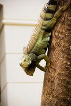 Green Iguana Walking Down A Tree