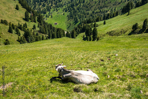 cow on a dizzying slope, in a  sunny day, picture taken from above to highlight Canvas Print