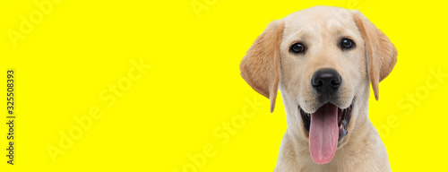 labrador retriever dog with brown fur sticking out tongue happy Poster Mural XXL