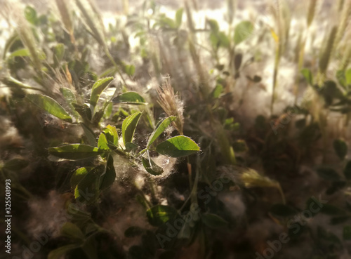 Grass in an area of ​​high concentration of pollen Canvas Print
