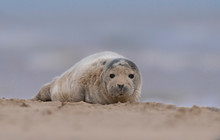 Grey Seals On A UK Beach