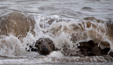 Grey Seals On A UK Beach
