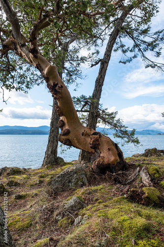 Photo an arbutus tree with twisted tree trunk grown on the edge of the cliff on the is