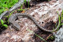The Southern Alligator Lizard ...