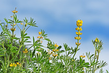Lupin  Flowers Blooming In The...