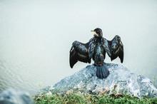 Sea Wild Bird Cormorant Spread...
