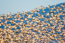 Large Flock Of Snow Geese Taking Off In Evening Light