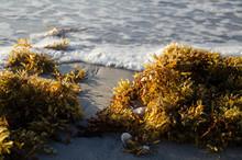 Sargassum Seaweed On Beach At ...