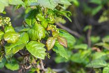 Fresh Spring Growth On Nasty Poison Oak Bush At Santa Susana Pass State Historic Park In Los Angeles California.