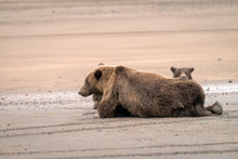 A Mother Grizzly Bear Lays On ...