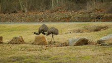 A Mother And Baby Emu Animal W...