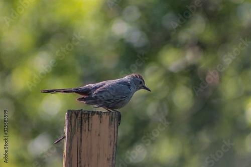 Wet grey catbird on wooden post