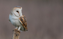 Wild Barn Owl On A Post