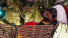 Funny Adorable Black And Tan D...