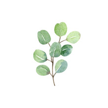 Eucalyptus Silver Dollar Branch And Leaves - Watercolor Hand Drawn Clipart Isolated On White Background. Hand Painted Floral Illustration.
