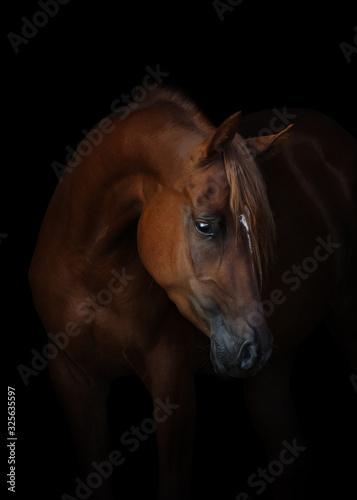 Fototapeta Portrait of a beautiful chestnut arabian horse look back isolated on black background, head closeup obraz