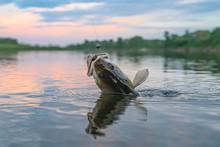 Zander Fishing. Walleye Fish O...
