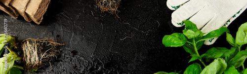 Fototapeta Banner of Flat lay of Gardening tools, basil, eco flowerpot, soil on black background. obraz