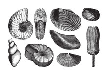Shell Fossil Collection (Triassic Period) / Vintage Illustration From Brockhaus Konversations-Lexikon 1908