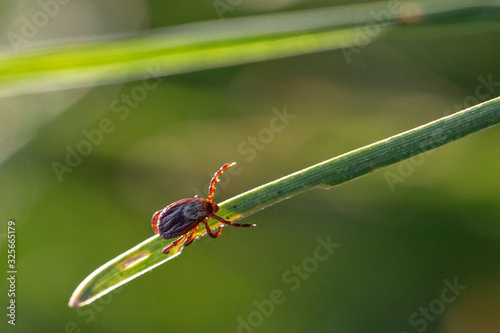 Photo tick on the grass, acarus on grass