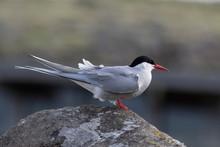 Close Up Of Arctic Tern (Sterna Paradisaea) In Nature.
