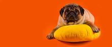 Beautiful Pug Lying On Yellow Pillow. Cute Dog Resting On Orange Background.