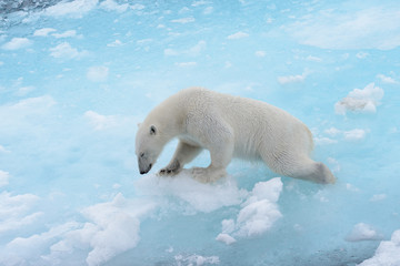 Polar bear is sinking in water because polar ice is melting down. Save polar bears. Global warming concept.