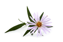 Wild Aster Isolated On White
