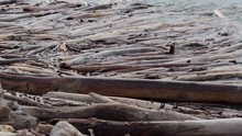 Ecology. Logs Swing In The Surf.