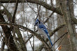 Blue Jay perched in a tree in winter
