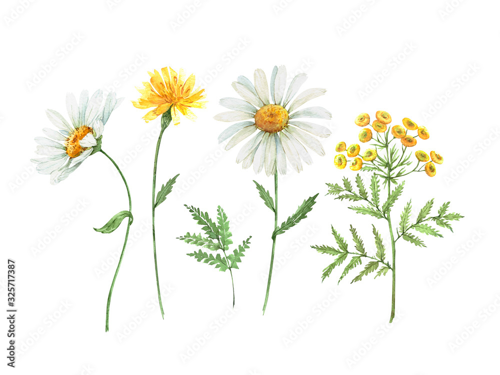Fototapeta Set of watercolor illustrations of daisy flowers. meadow flowers white and yellow