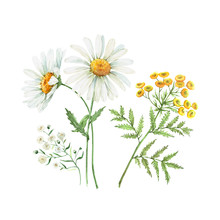 Set Of Watercolor Illustrations Of Daisy Flowers. Meadow Flowers White And Yellow