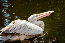 Pelican Catching A Fish In Its...
