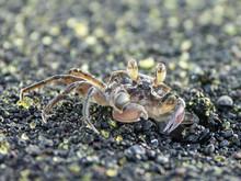 Crabe Fantôme Sur Une Plage De Saint Paul, La Réunion