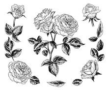 .  A Sketch Of A Rose Bush. An...